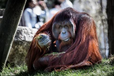 Orang-Outan (orangutan)