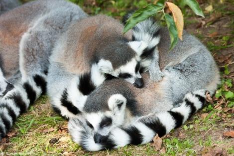 Maki catta (Lémur catta - Ring-tailed lemur) blottis l'un contre l'autre pour une sieste