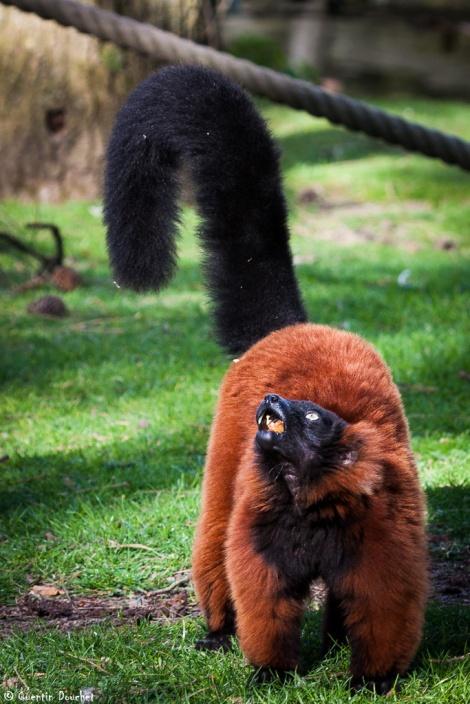 Vari roux - Varecia rubra au zoo de Beauval