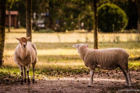 IMG_6354-mouton-2.jpg